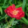 赤いバラと赤いバッタ