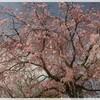 桜だより~奈良公園(4月15日)