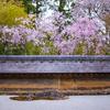 京都・衣笠 - 龍安寺の桜