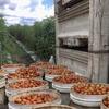 Bundabergでのファームジョブ(3月中旬〜):歩合制チェリートマトは短時間労働かつ低賃金でジョークだった