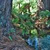 「ハムラナ・スプリングス森林公園」~豊富な湧き水はロトルア湖へ・・・。