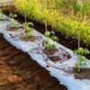 トマトの植え付け!落花生種まき!