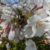 コロナウイルスが流行する今年の花見