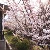 道明寺駅に咲く桜