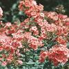 今日の誕生花「オイランソウ=フロックス」フランスでは香水の原料!