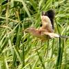 葭原に飛び込み葦にとまり飛び去るヨシゴイ