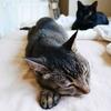 黒猫マック、チロ兄ちゃんの命を救う - Black Cat Mac Did It! -