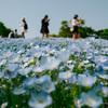 昭和記念公園で春の花が見頃でした:菜の花・ネモフィラ・チューリップ