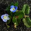 花冠が青色と薄紫色のオオイヌノフグリ