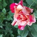 rose-garden2017's blog
