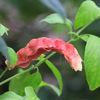 今日の誕生花「ペロペロネ=コエビソウ」ギリシャ語のベロス(矢)とペロネ(帯)の2語から名前が!
