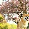 人工知能に柴犬の画像を集めてもらいたかった