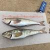 【小樽港厩町岸壁】ホッケまだ釣れる?小樽で人気のスポットで竿を出してみたら・・・