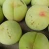17日、18日と伊達市、伊達郡、福島市で桃の穿孔細菌病の現地調査
