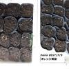 種まきと庭クウシンサイ収穫