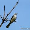 餌を持つ Tropical Mocking bird (トロピカル モッキングバード)