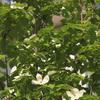 玄関アプローチ シンボルツリー開花