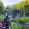 息子(大型犬)と一緒に「あさぎりフードパーク」で行われた「富士山わんわんマルシェ」に行って、「本栖湖」と「白糸の滝」も散歩してきました。その2