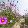 秋の暖かい日、都市農業センターコスモス畑のコスモスに埋もれるチビ達