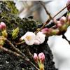 松山で19日に桜の開花を発表!満開は26日頃の予想!!