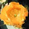 ウチワサボテンの花と実