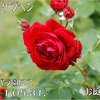 ロートケプヘン 〜京成バラ園にて 春2011/05/31  想定外の美しさのロートケプヘン(ドイツ語で「赤ずきんちゃん」のこと)