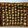 【多肉植物】ギムノカリキウム 海王丸さんの実生 3ヶ月が経過