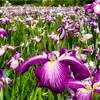 江戸川区【入園無料】小岩菖蒲園ショウブとアジサイの見頃・開花状況2020年祭り中止も開園