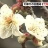 天草市の寺で「兜梅」咲き始める