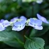 紫陽花とマドンナリリーと奇想天外