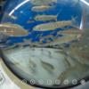 さけ科学館 サケ類の魚がいっぱい #360pic