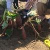 大阪市内から近い寝屋観光農園に子供と芋掘りに行ってきました。