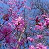 【奥武蔵】棒ノ嶺~蕨山 ツツジ咲く、春の名栗湖周回コース