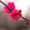 【大阪】実は梅の名所 大阪城の梅林へ