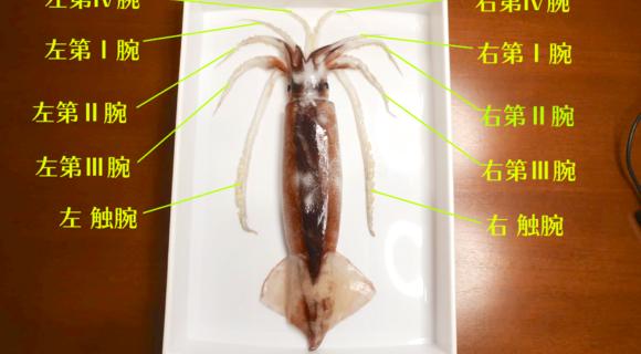 「イカを楽しく解剖しながら部位別に美味しく食べる方法」を日本いか連合員が手とり足とり教えます