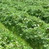 21春ジャガイモの初収穫