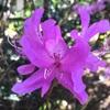 ツツジ属の花たち