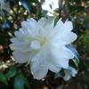 色々な山茶花が開花中。