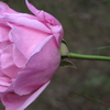 小さな庭の片隅にもー我が家の庭に咲いたピンクのバラに賭ける思い。