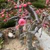 梅が咲いてきた❣️