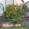 森バナ農園2020『ゆず収穫』~りんご柚子酢レシピ~