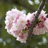 今日の景色 04/15 八重桜