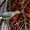 赤い実と Golden-fronted Woodpecker (ゴールデンフロンテッド ウッドペッカー)