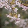 空から降り注ぐ「大漁桜」見頃