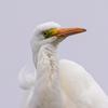 🦩野鳥の回【21】 電柱上のダイサギ5ヘンゲ