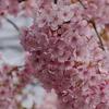 超絶満開「河津桜」