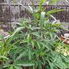 ハイビスカスローゼル 今年は葉が多い・・・・花芽はいつ?
