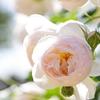 ウチの庭に植えてあったバラ オススメ5選