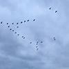 初雁の頃の伊豆沼のマガンの「雁が音」を聞きにユルポタしてみた。