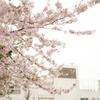 今年の桜 その1